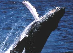 humpback_whale.jpg