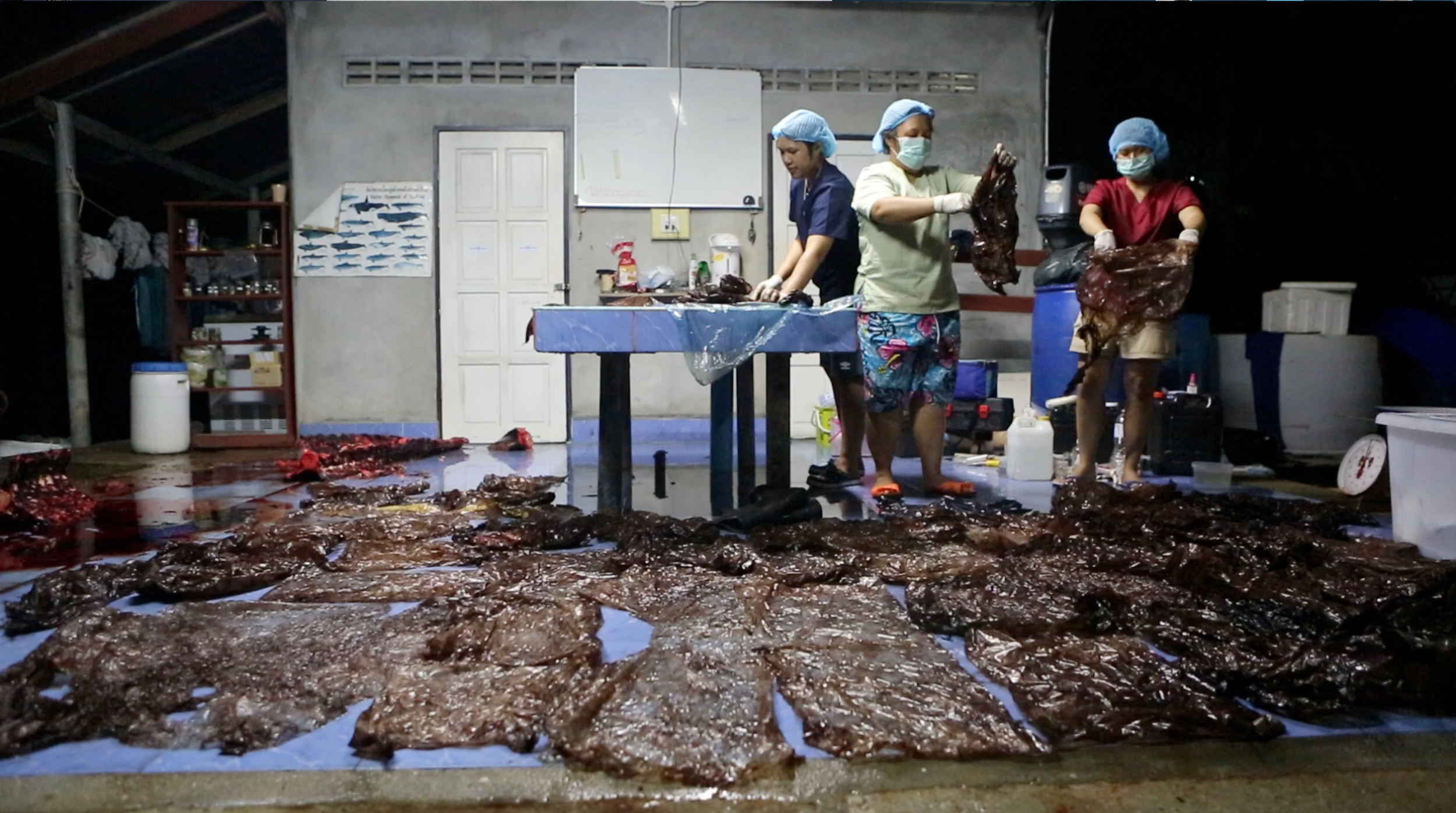 Plastic bags removed from a pilot whale's stomach. Photo: Smithsonian Magazine