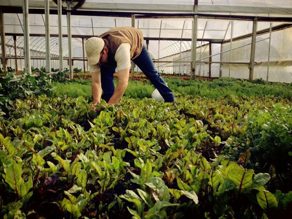 ANP harvesting lettuce.jpg