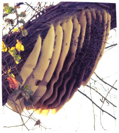 Beehive on Tree.jpg
