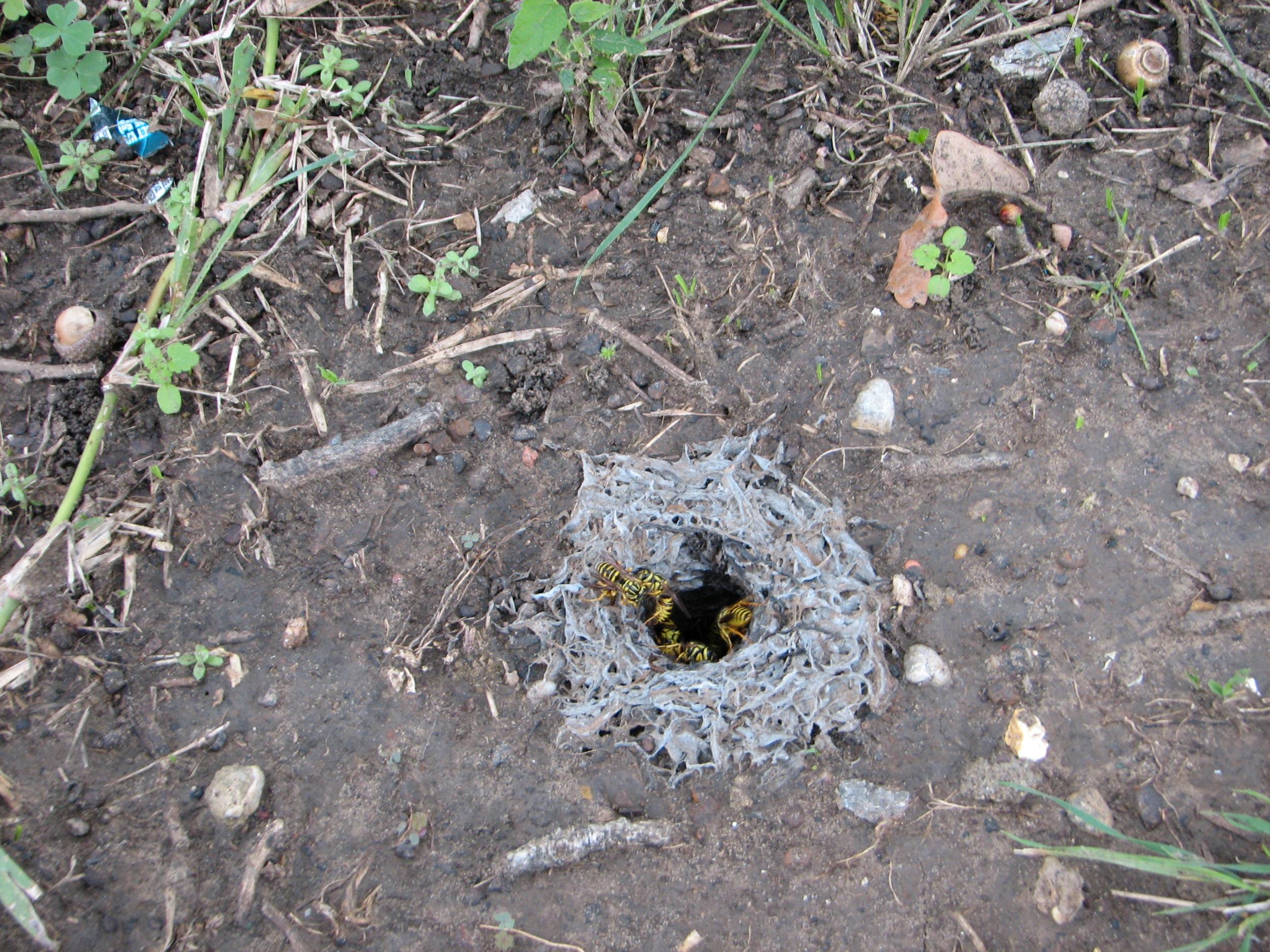 Southern Yellow Jacket Nest