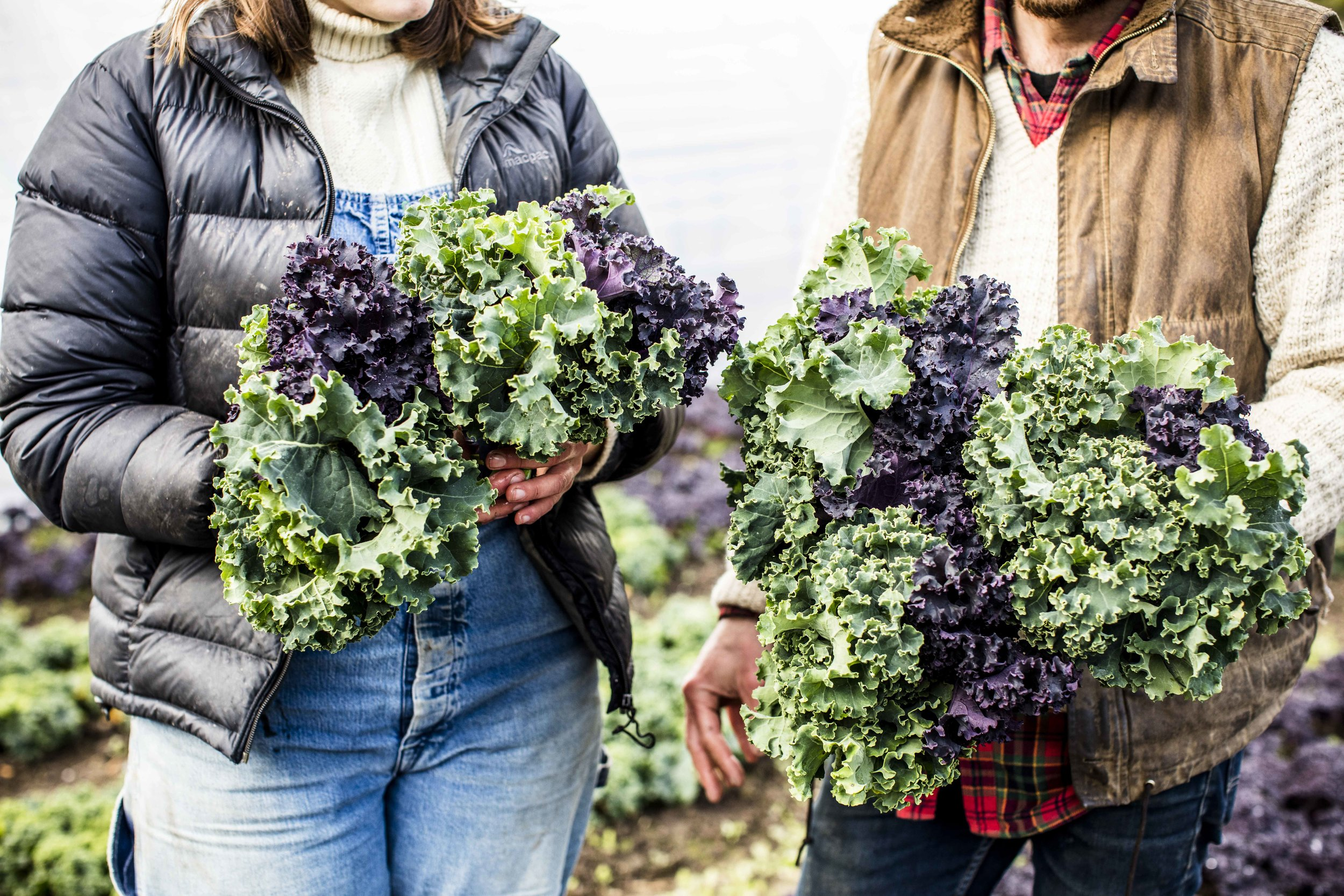 Green and purple curly winter kale