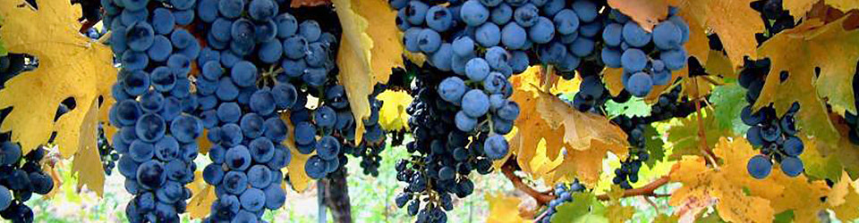 A grape cluster growing on Jespersen Ranch in Edna Valley.
