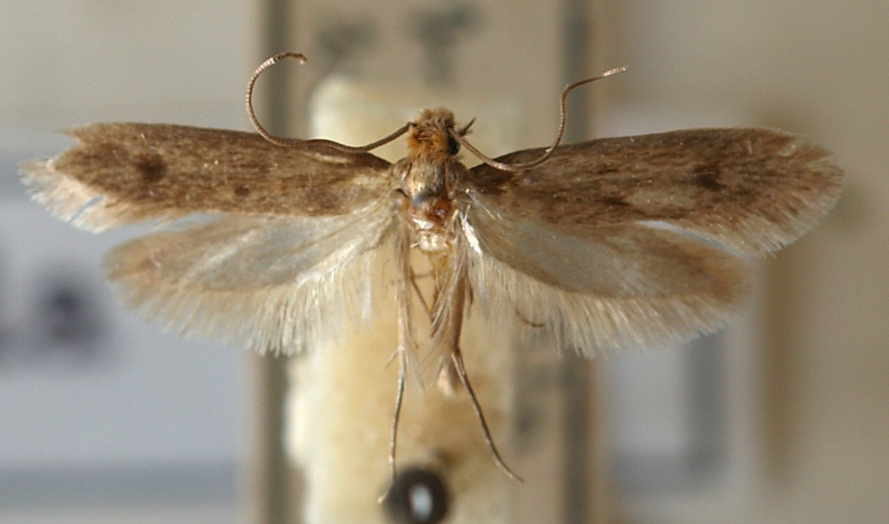 Casemaking clothes moth.jpg