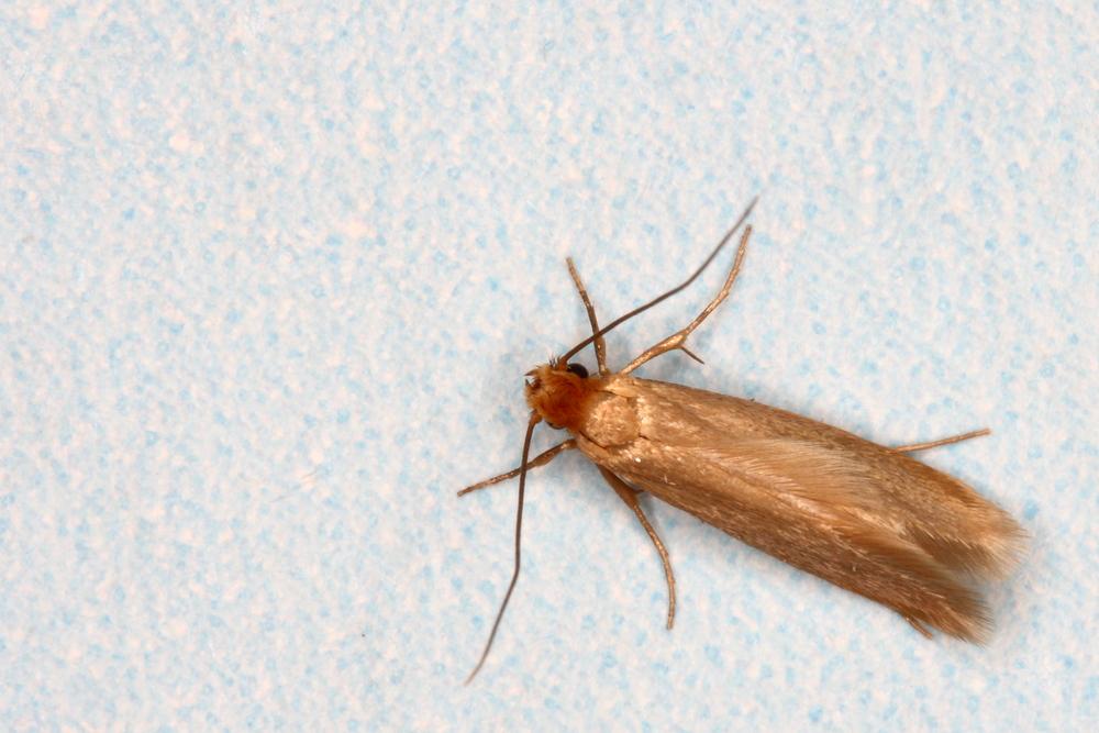 clothing moth.jpg