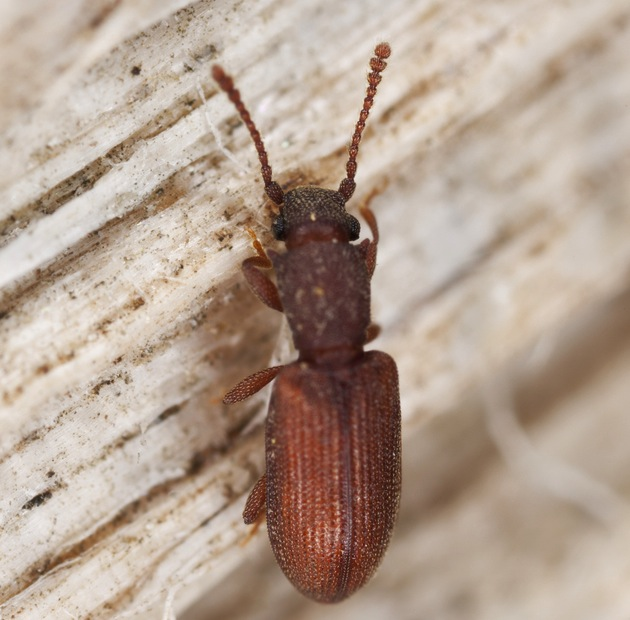 sawtooth grain beetle.jpg