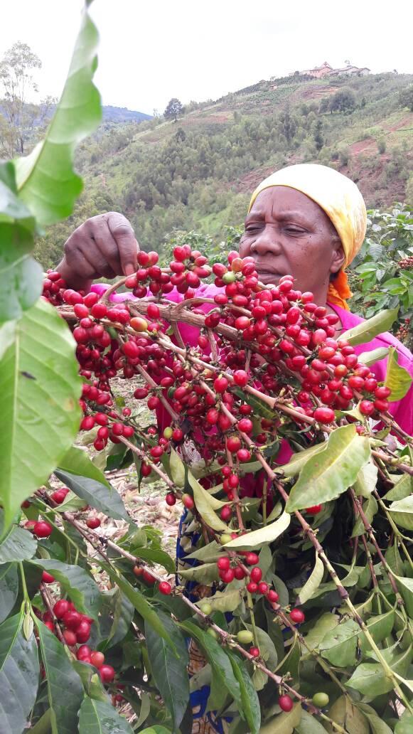 Mrs Pauline selecting cherries on plantation.jpeg