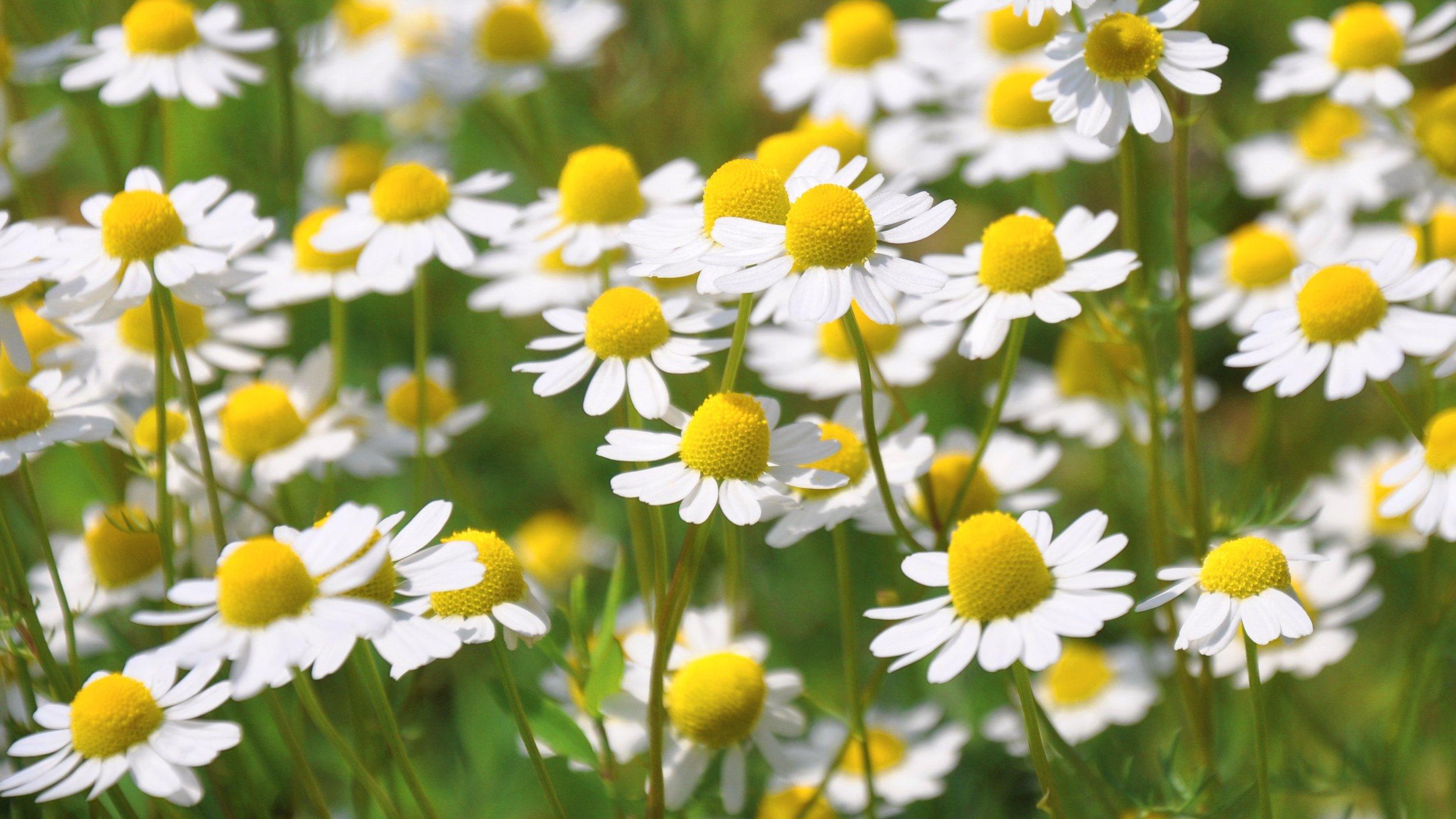 chamomile field.jpg