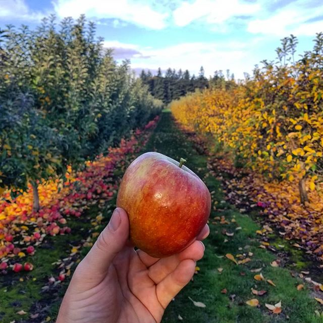 Apple picking in Oregon, and the leaves of fall are beautiful.  #apples #oregon #farmlife #cidertown #fall