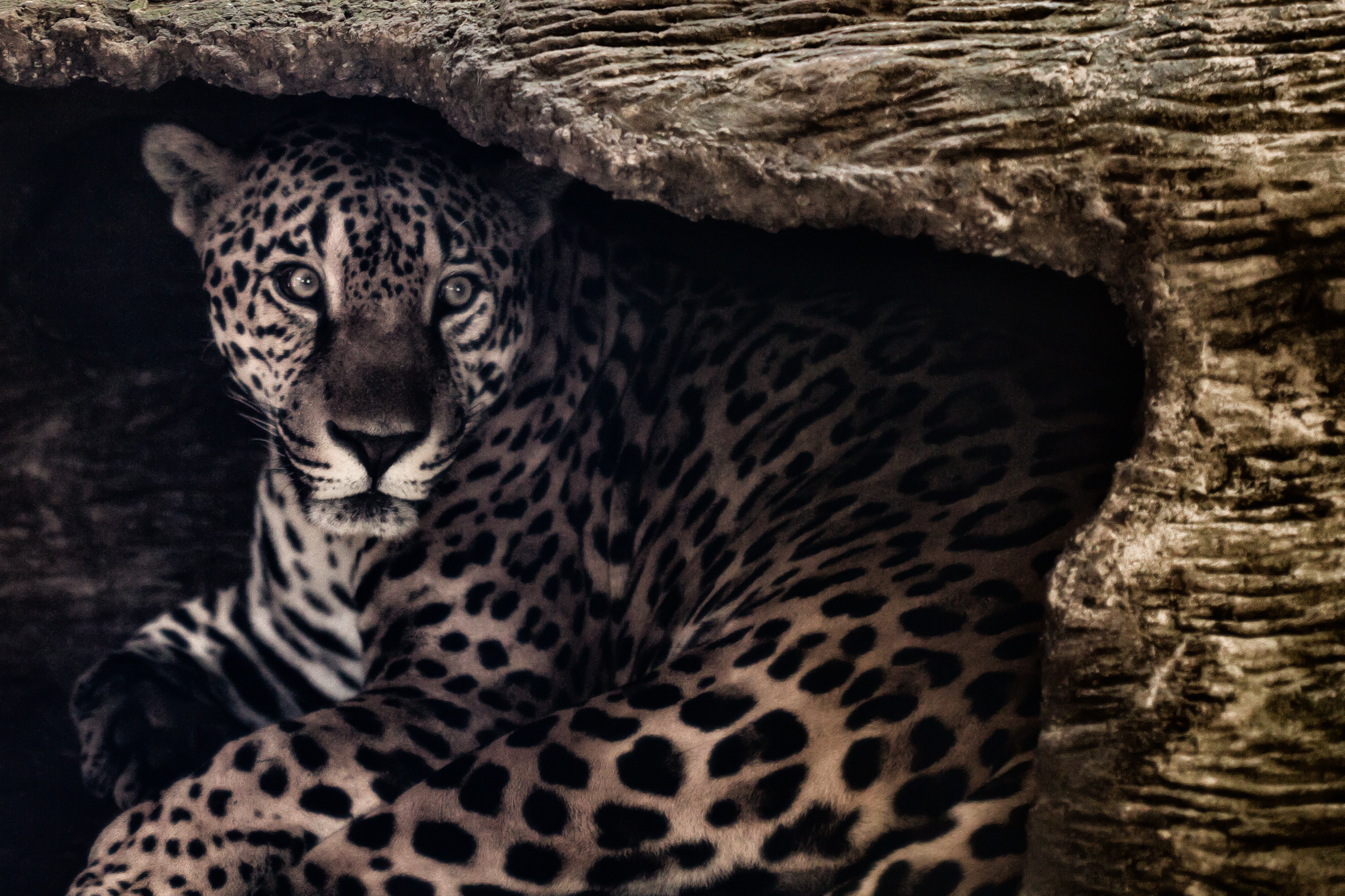 The jaguar and his mighty spots
