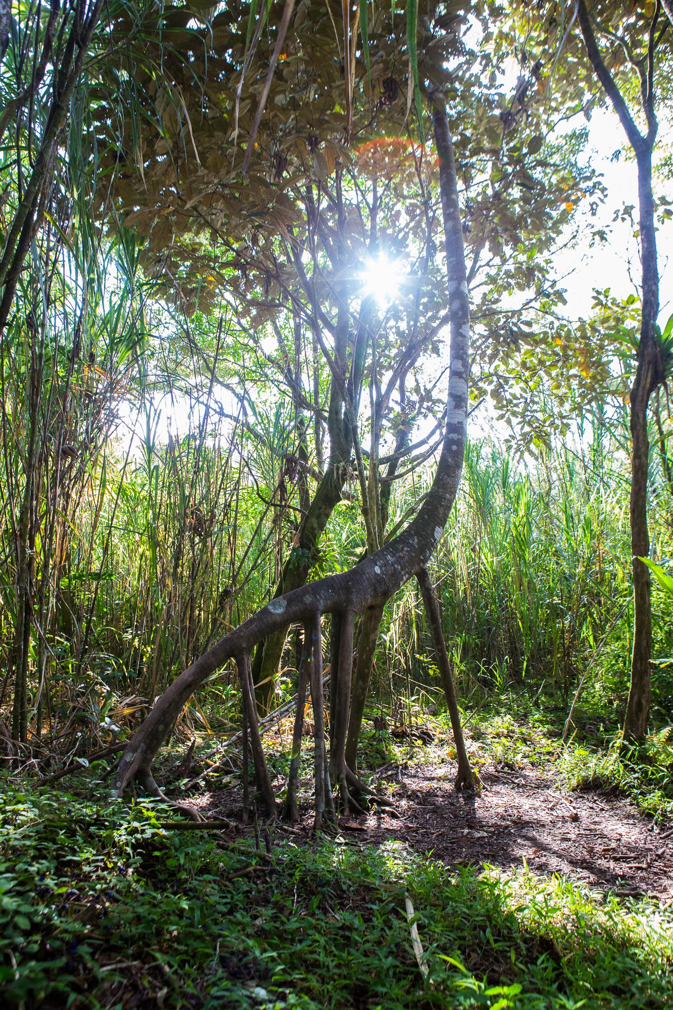 The giraffe tree had some impressive roots