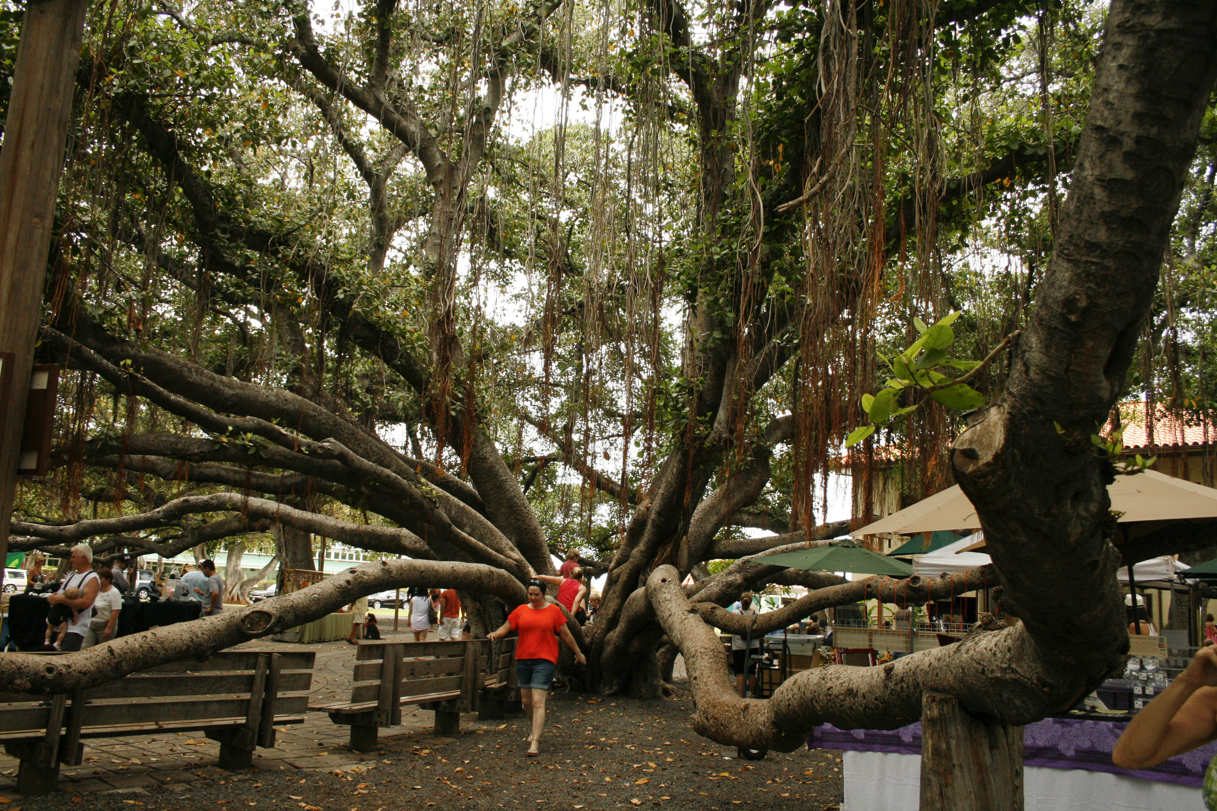 The Banyan Tree in Lahaina. It's roots grow down from it's branches!