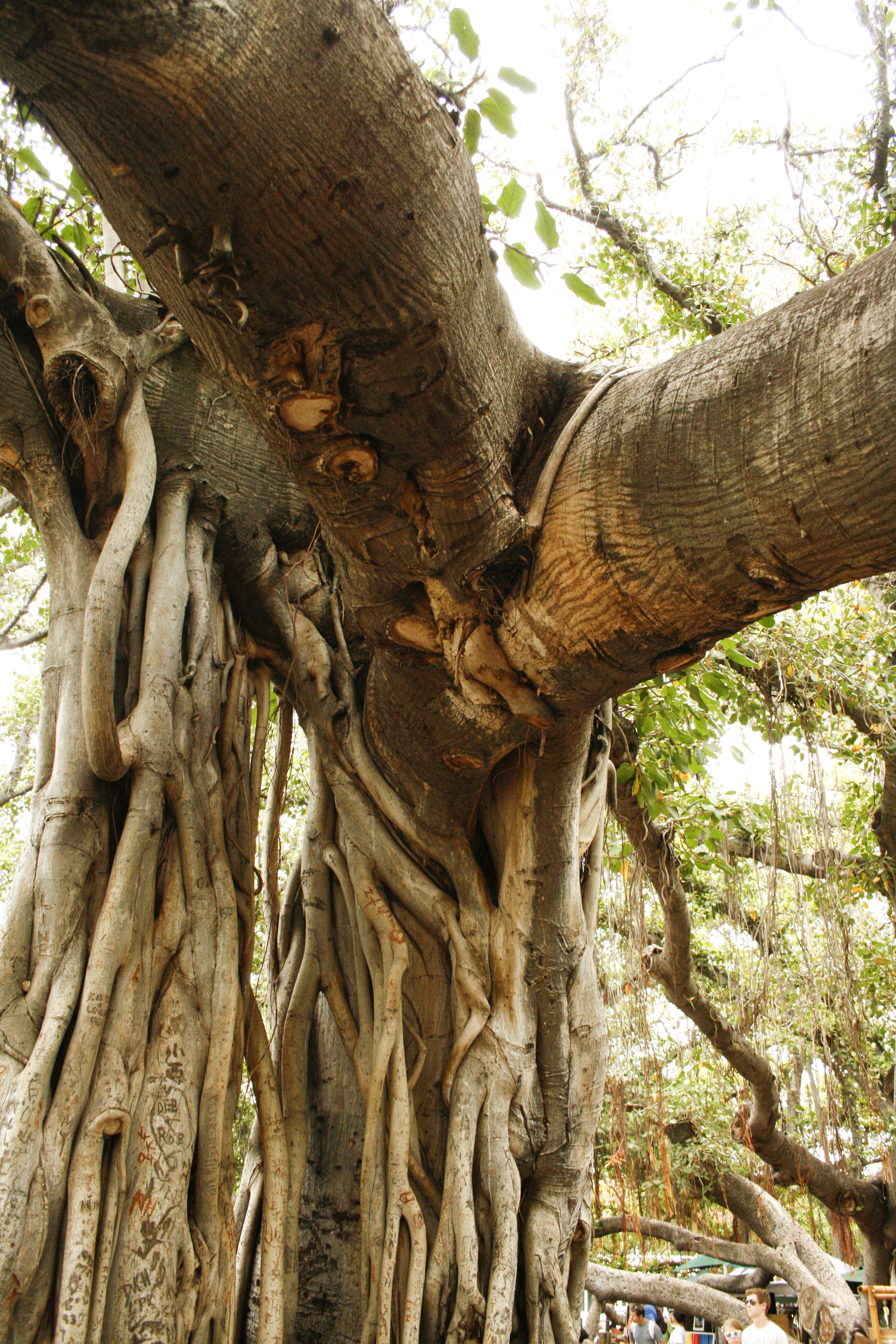 Banyan tree branch and root.