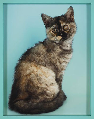 Elad Lassry,  British Shorthair Tortie , 2010, C-print with painted frame, 14 1/2 x 11 1/2 x 1 1/2 inches