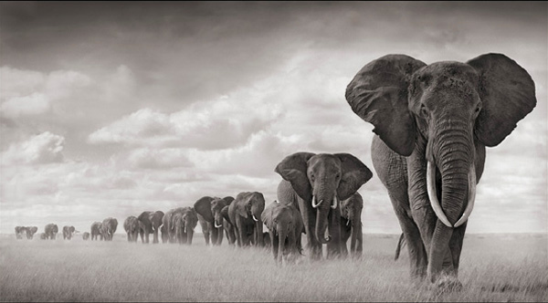 Nick Brandt , Elephants Walking Through Grass in Amboseli , 2008 from A Shadow Falls