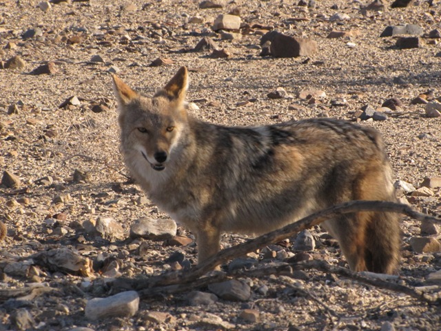 Coyote near Panamint Springs