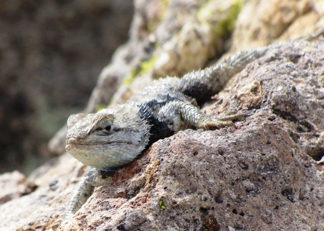 Desert Spiny Lizard in the Owens Valley