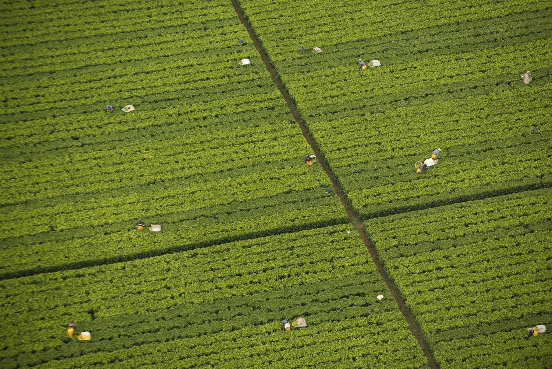 Tea-picking-Kenya-Barney-Wilczak-by-Get-it-Sorted.jpg