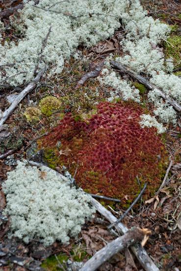 Red Lichen, Reindeer Moss
