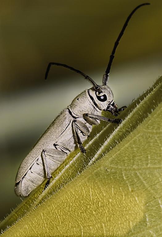 4-Gray Bug Feeding on Leaf 1-J D McClung-Oklahoma CC