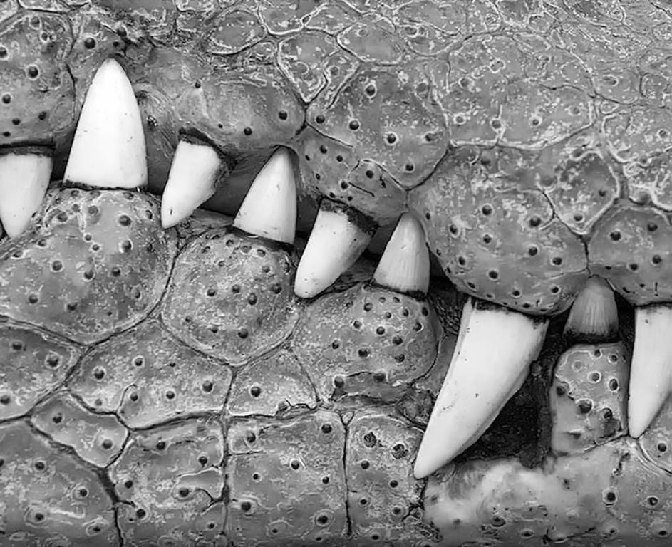 1-Teeth of the Gator-Donald Crais-West Bank CC