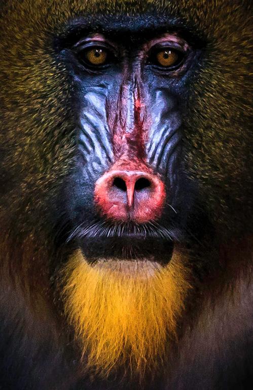 5-Mandrill Face-Larry Wicsler-Heard Nature PC
