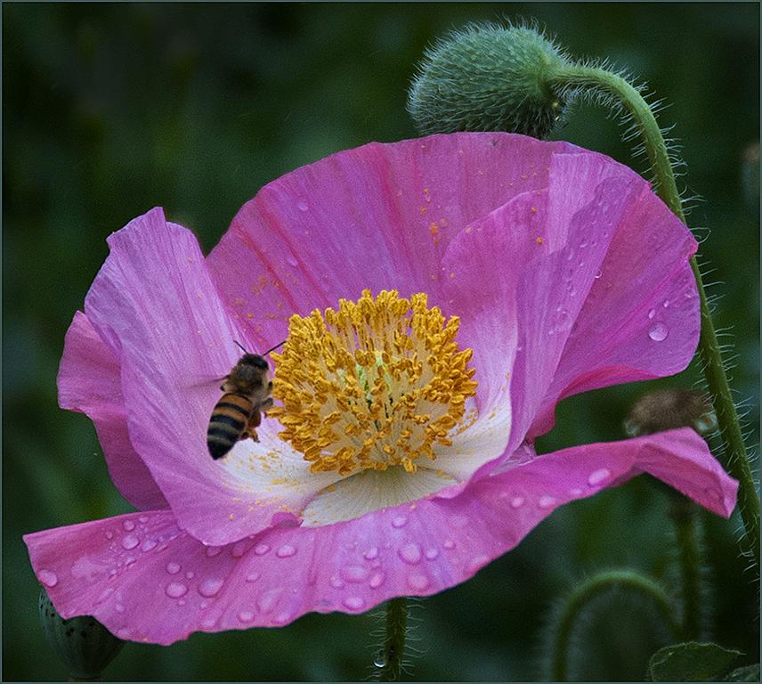 Pink Poppy & Bee