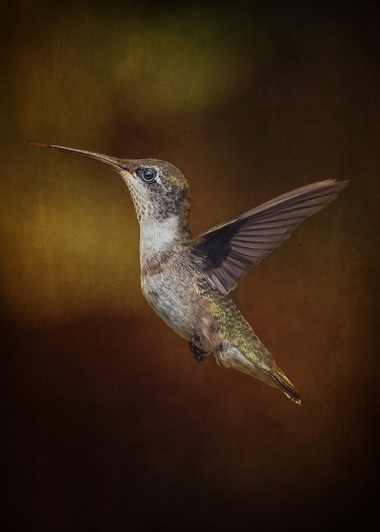 Hummingbird Profile,Pat Leger,Lafayette Photographic Society,1st Place,Color Projected