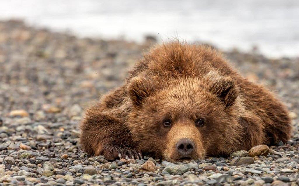 Bear-ly Alert,Brenda Smith,Cowtown Camera Club,3rd Place,Nature Prints