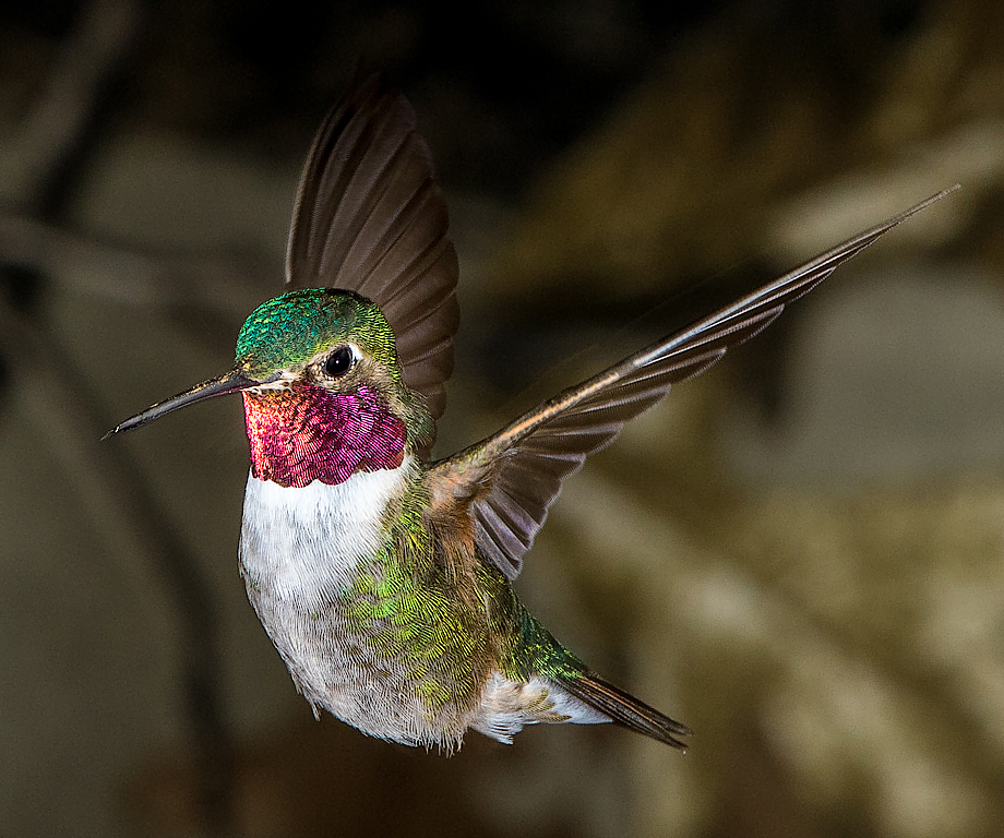 Broad Tailed Hummingbird,Fred Land,Cowtown Camera Club,3rd Place,Nature Projected