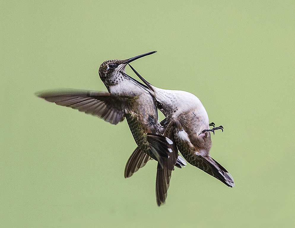 Juvenile Hummingbirds Fighting,Marilyn Holloway,Houston Camera Club,1st HM,Nature Projected