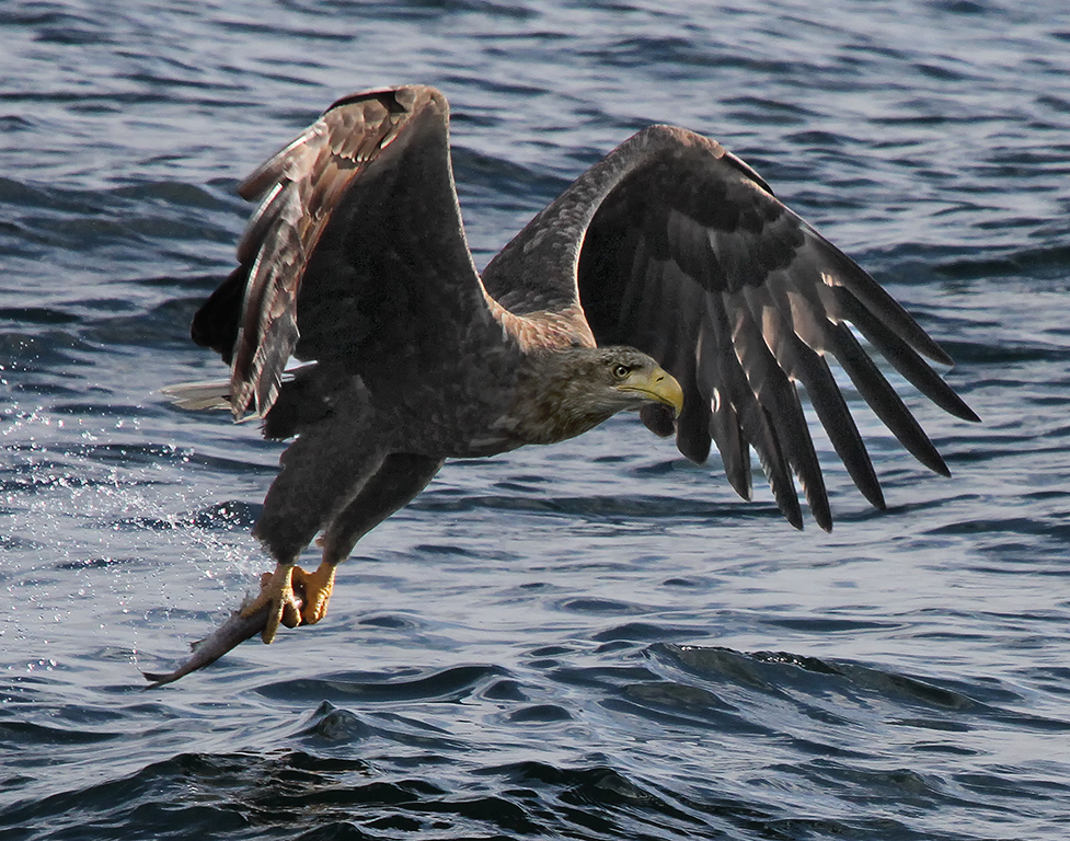 Whitetailed Eagle with Fish,Kathy Reeves,Louisiana Photographic Society,2nd HM,Nature Projected
