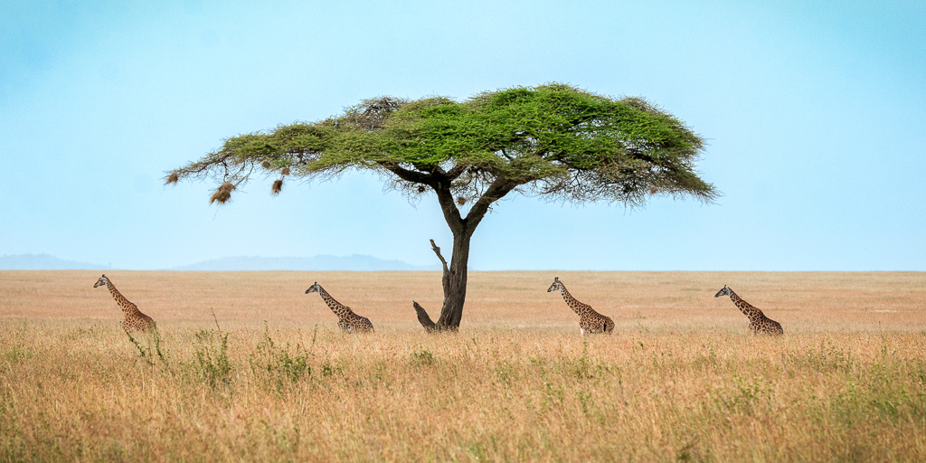 Four Giraffes and an Acacia Tree, Chad Fenner, Cowtown CC, 1st Place