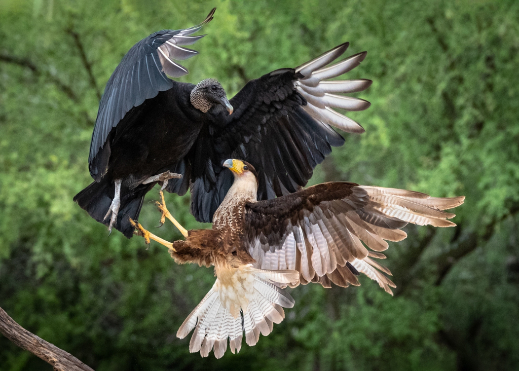 Fighting Vulture and Caracara, Sharlott Hasty, Plano PC, 1st Place