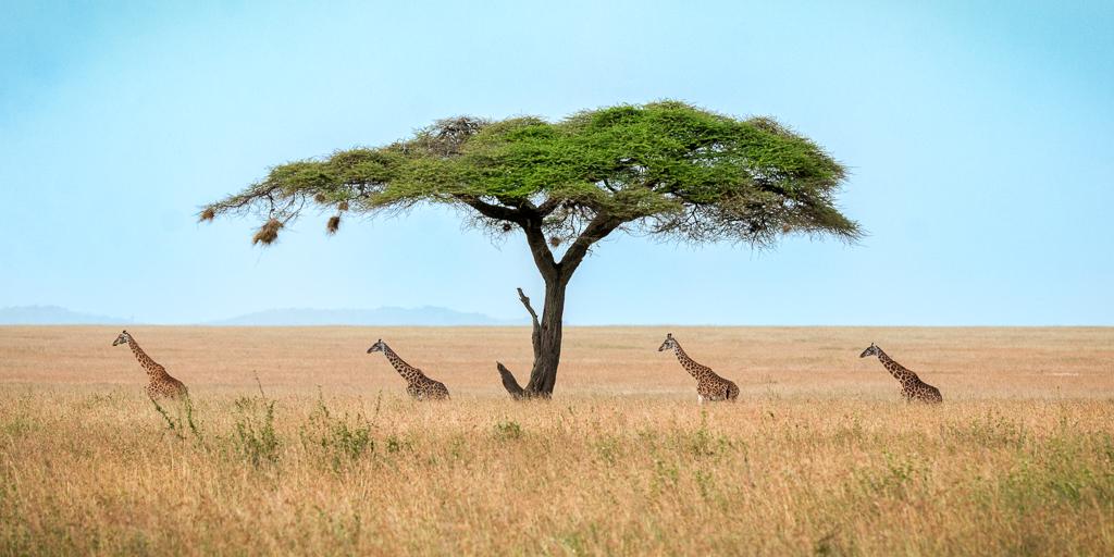 Four Giraffes and an Acacia, Chad Fenner, Cowtown Camera Club, First Place
