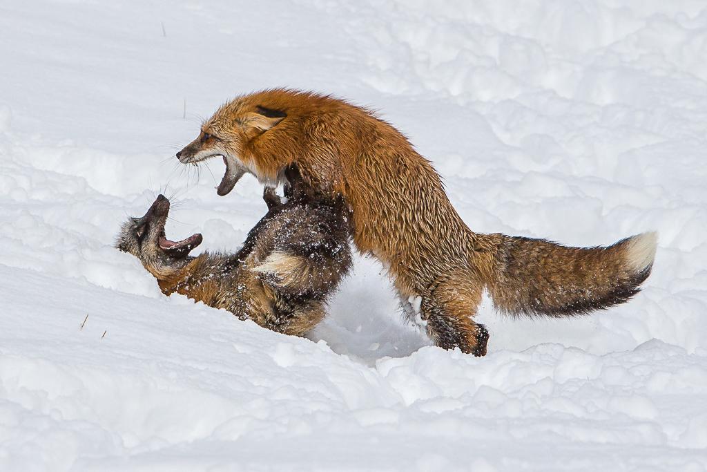 Alpha Fox, Doug Heimstead, Slidell Photography Club, 1st HM