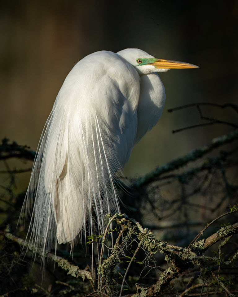Swamp Egret, Fred Land, Cowtown CC, 2nd Place