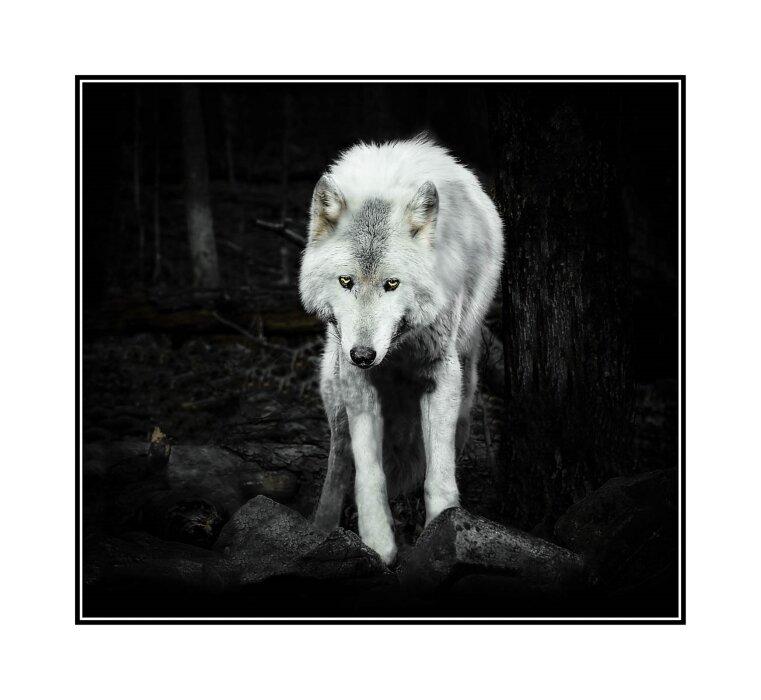 Never Cry Wolf,Robin Stevens, Louisiana PS, 3rd Place