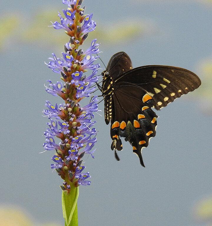 Spicebush Swallowtail Butterfly, Jane Ashley, Houston PC, 1st Place