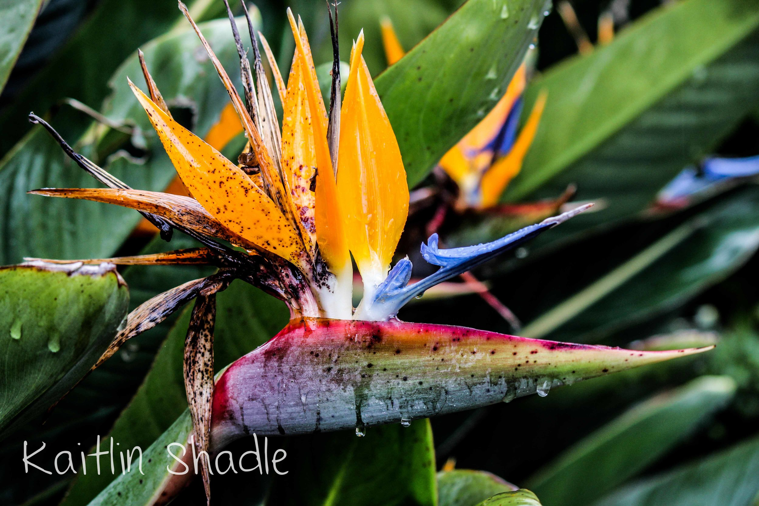 Bird of Paradise in the Rain