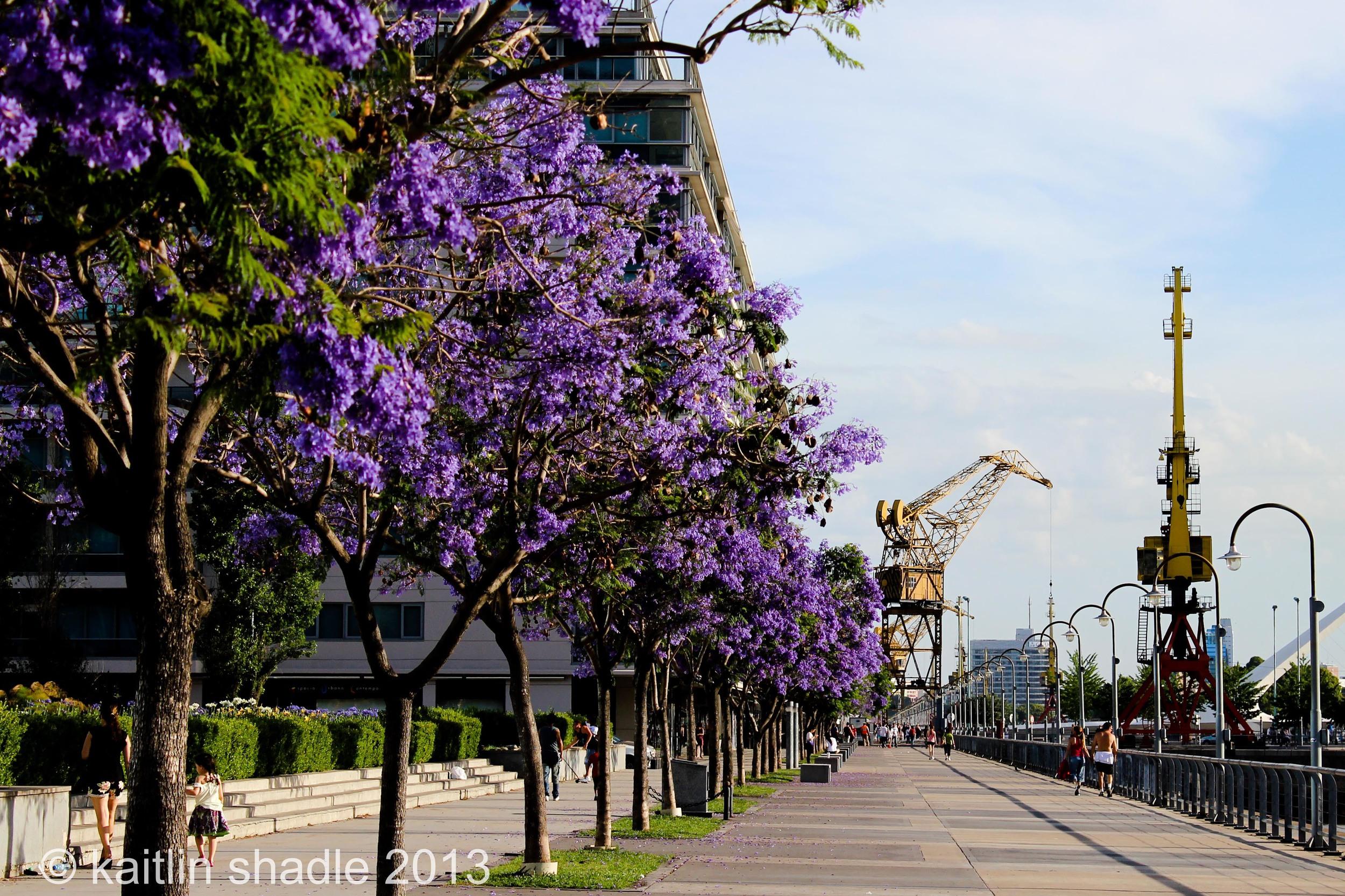 Cranes and Jacarandas