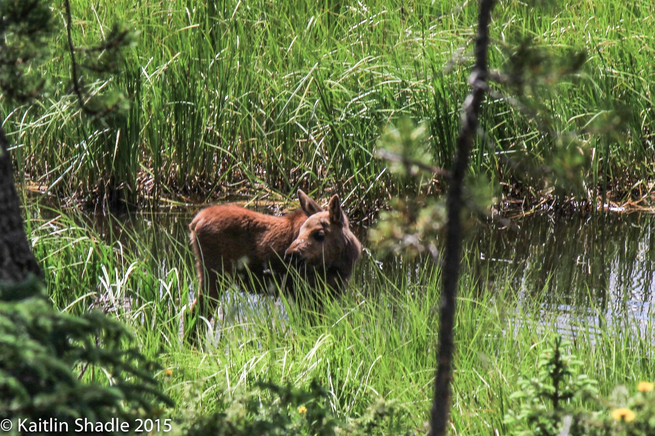 Baby Moose RMNP