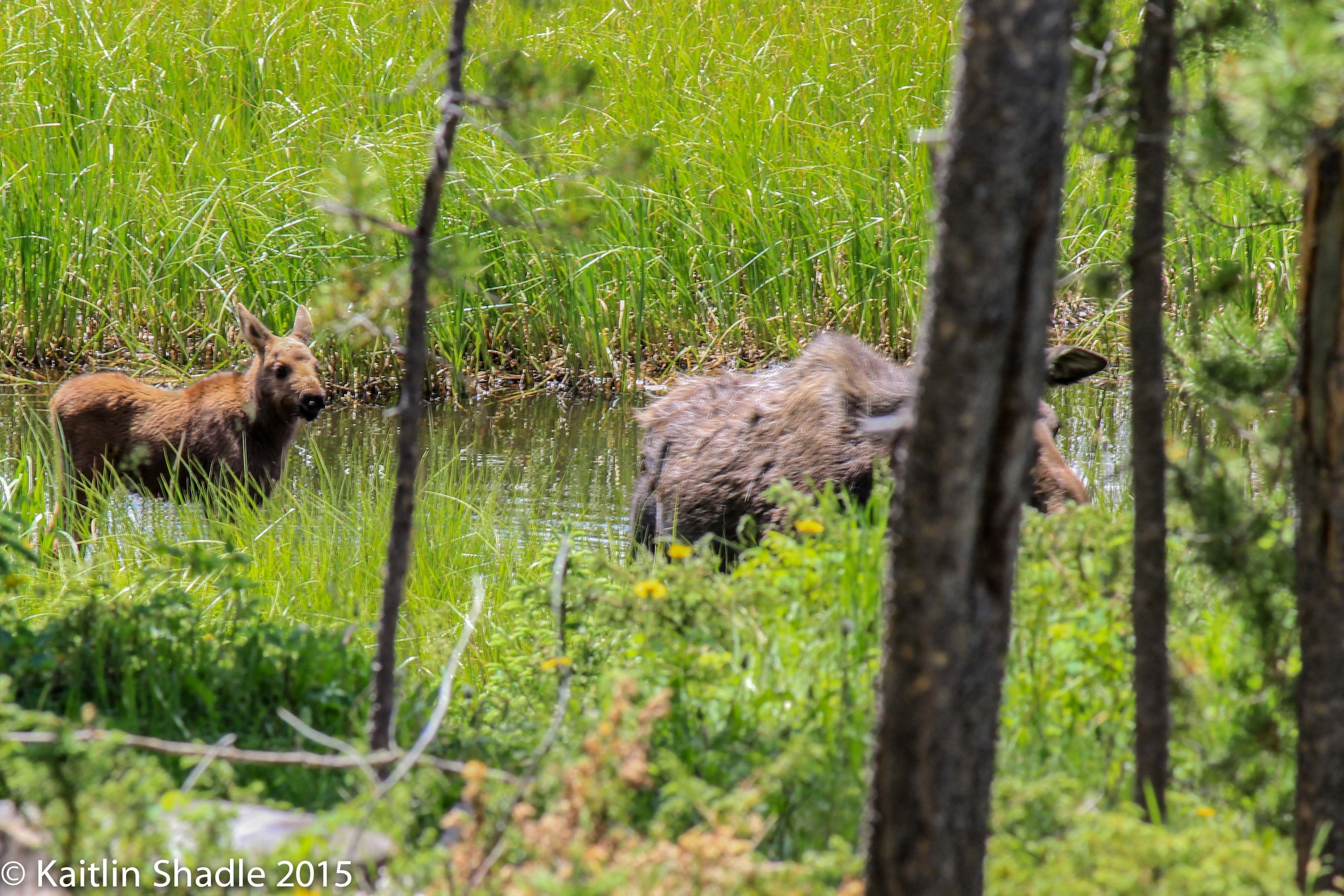 Momma and Baby Moose RMNP