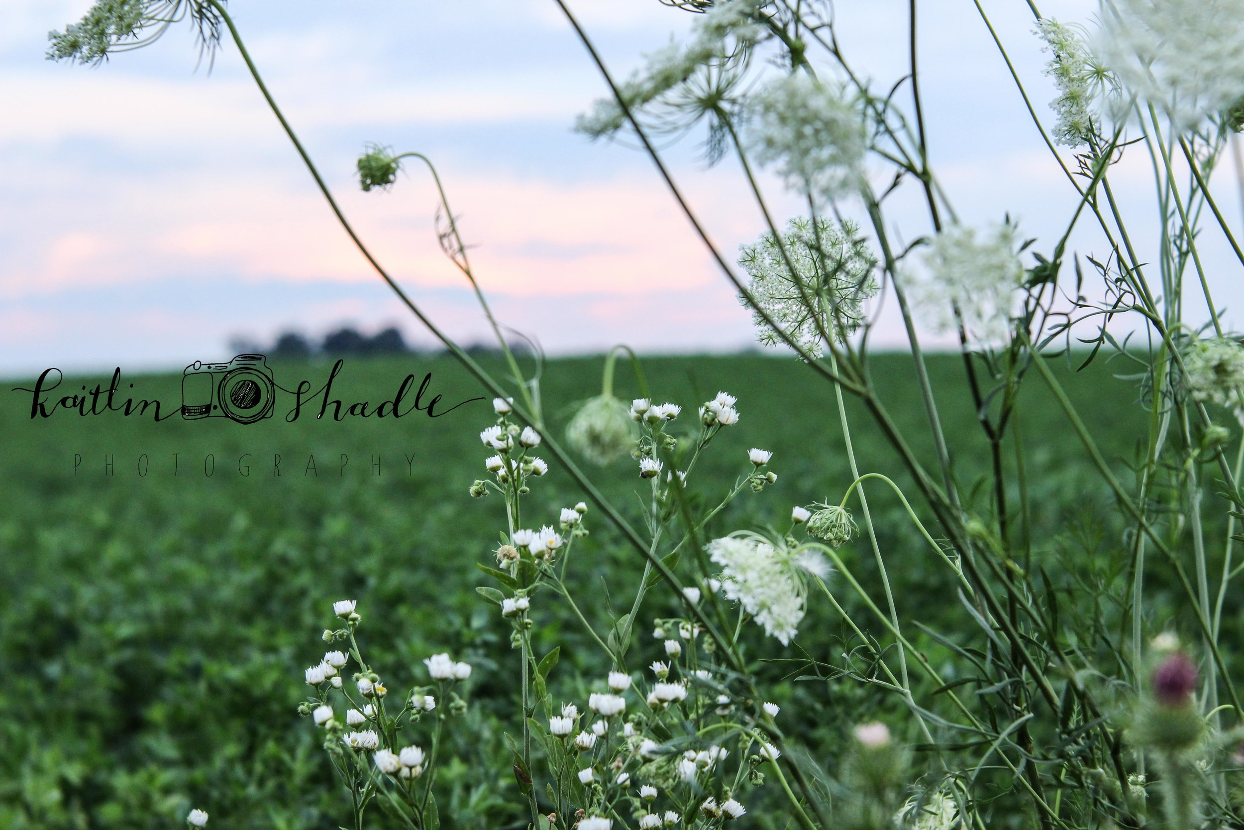 Wild Daisies and Lace at Sunset
