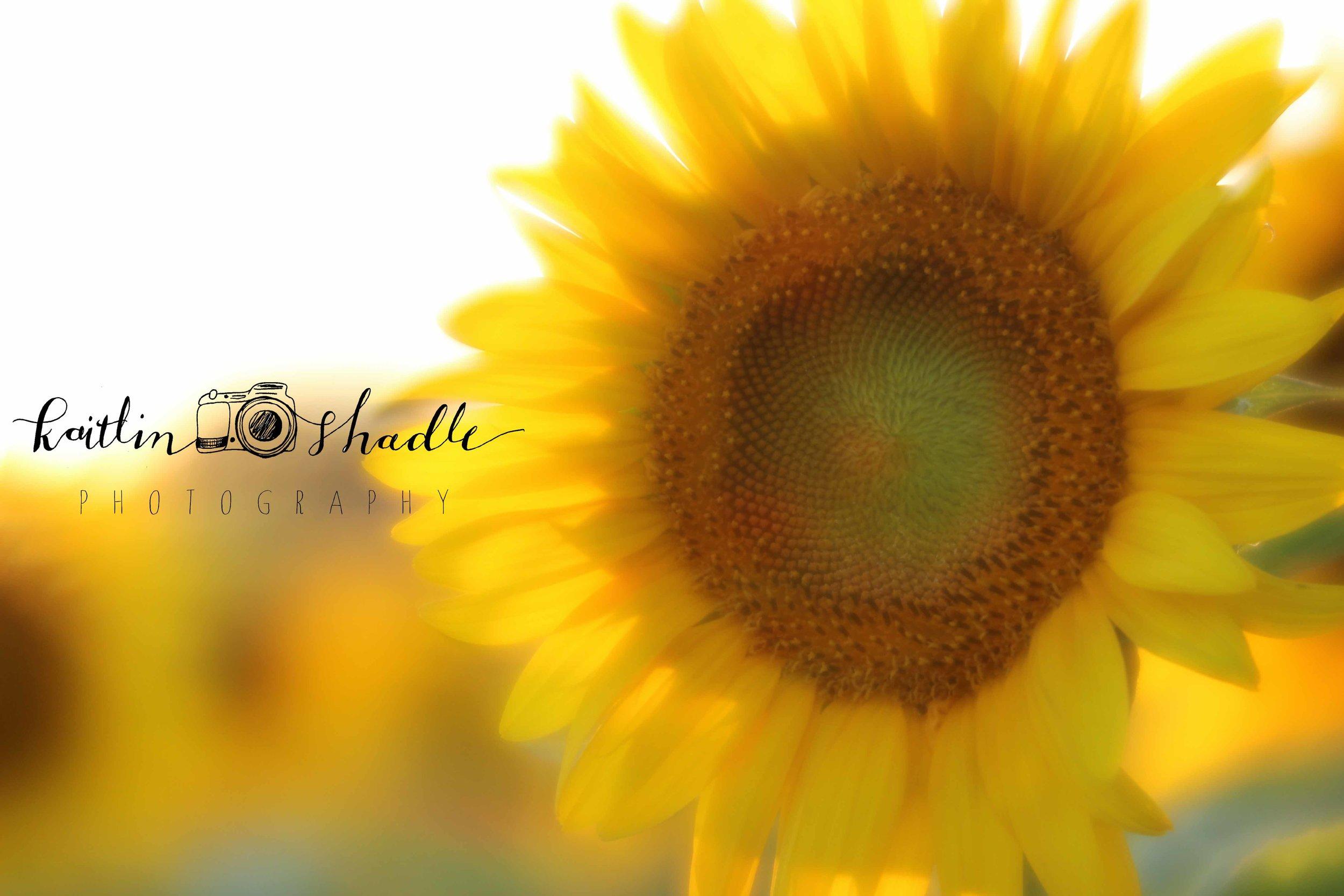 Velvet 56 Sunflower