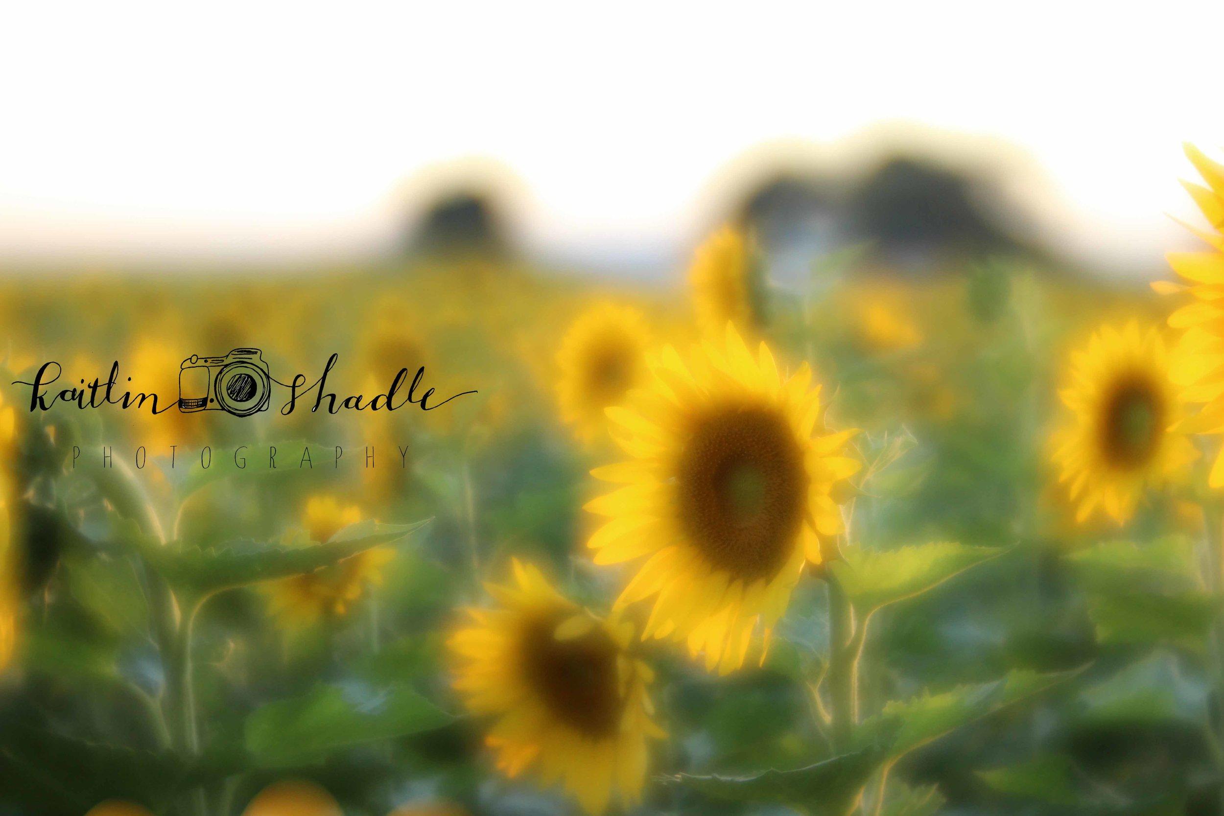 Velvet 56 Sunflower Field