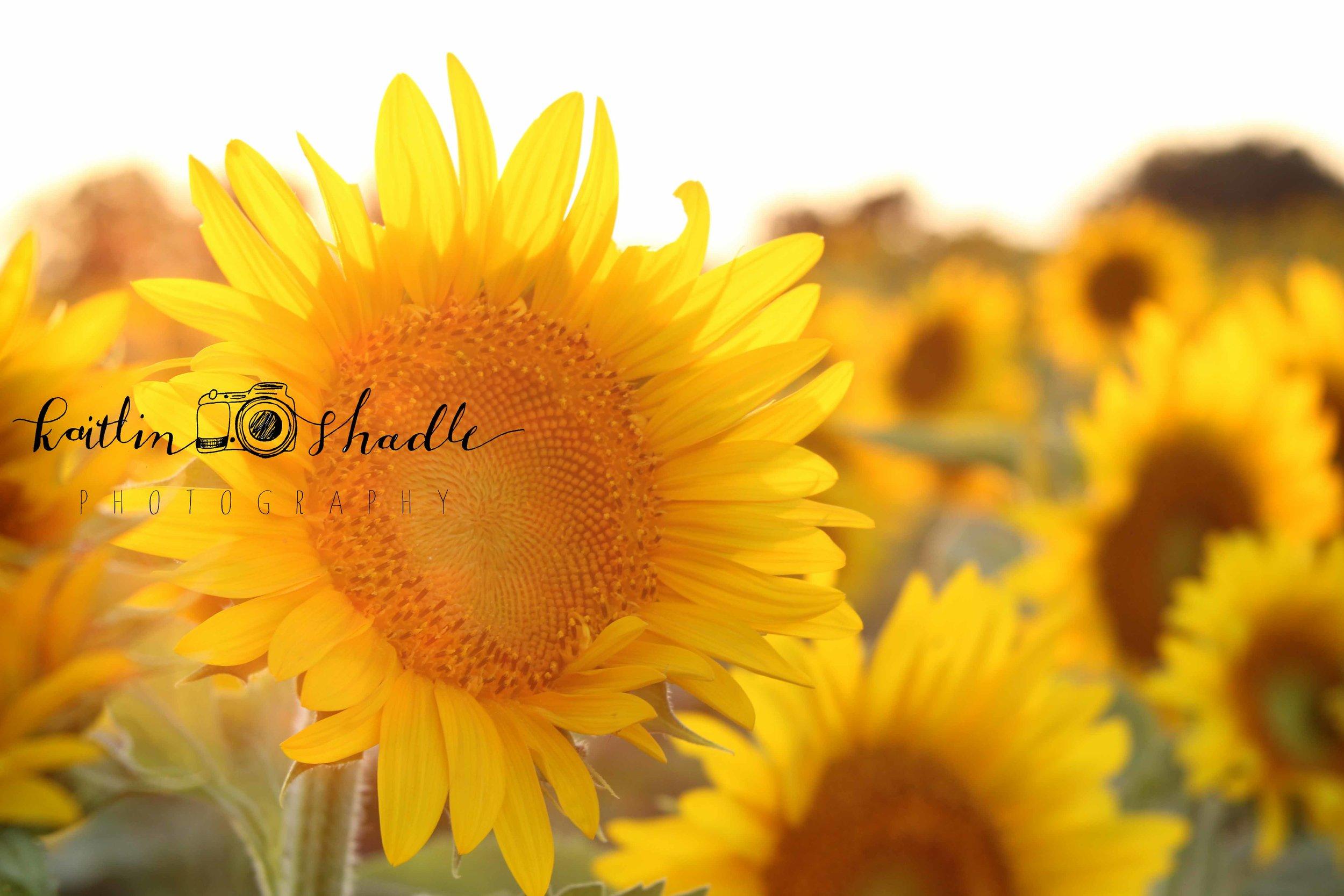 Sunflowers Illuminated