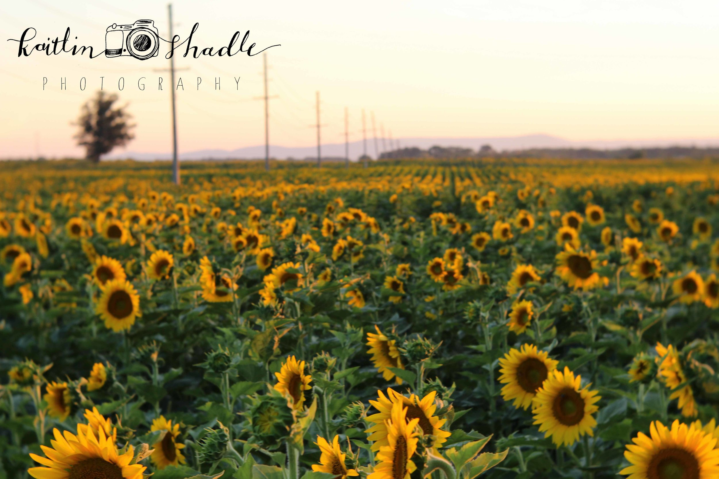 Sunflowers and Telephone Poles