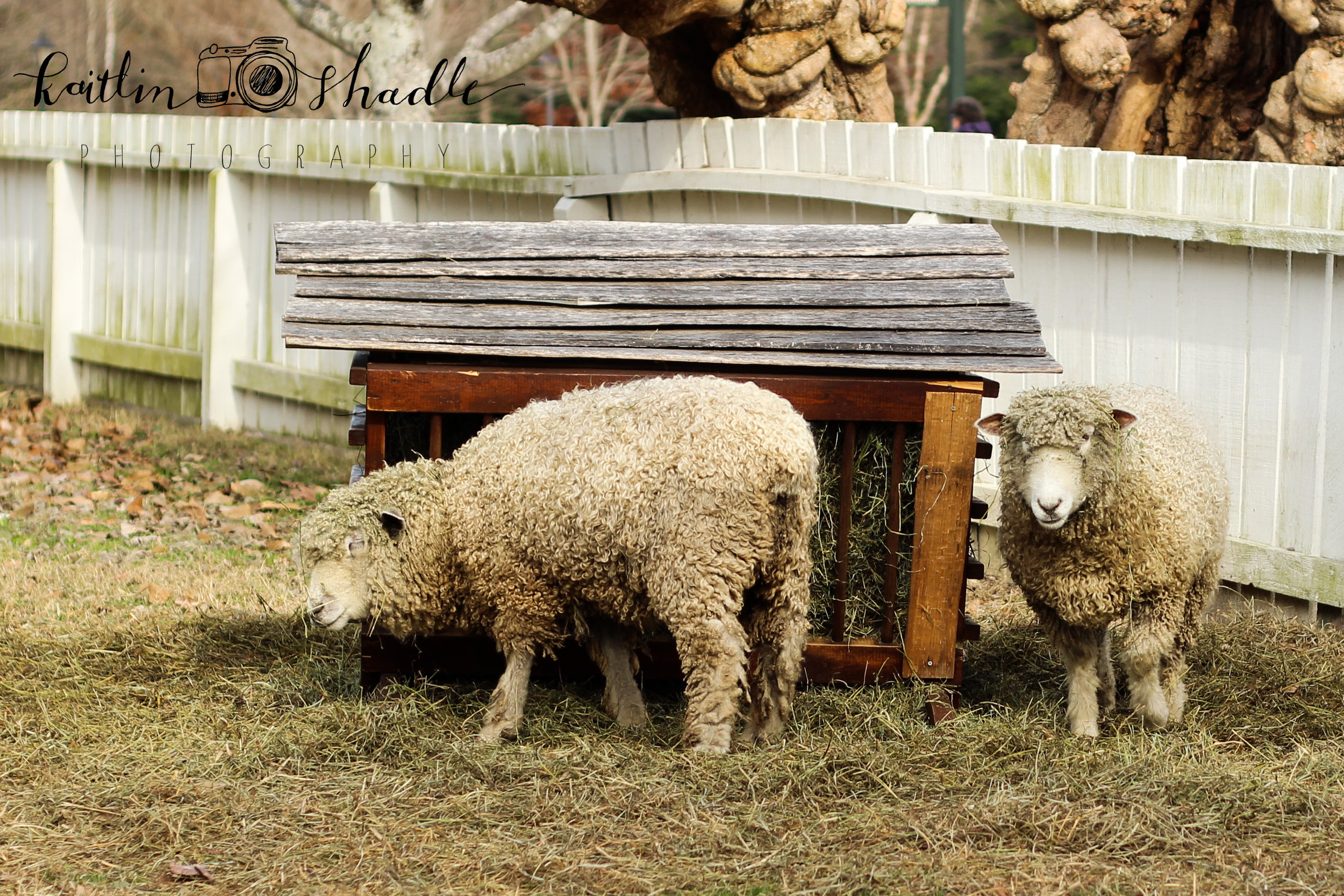 Mary's Not So Little Lambs