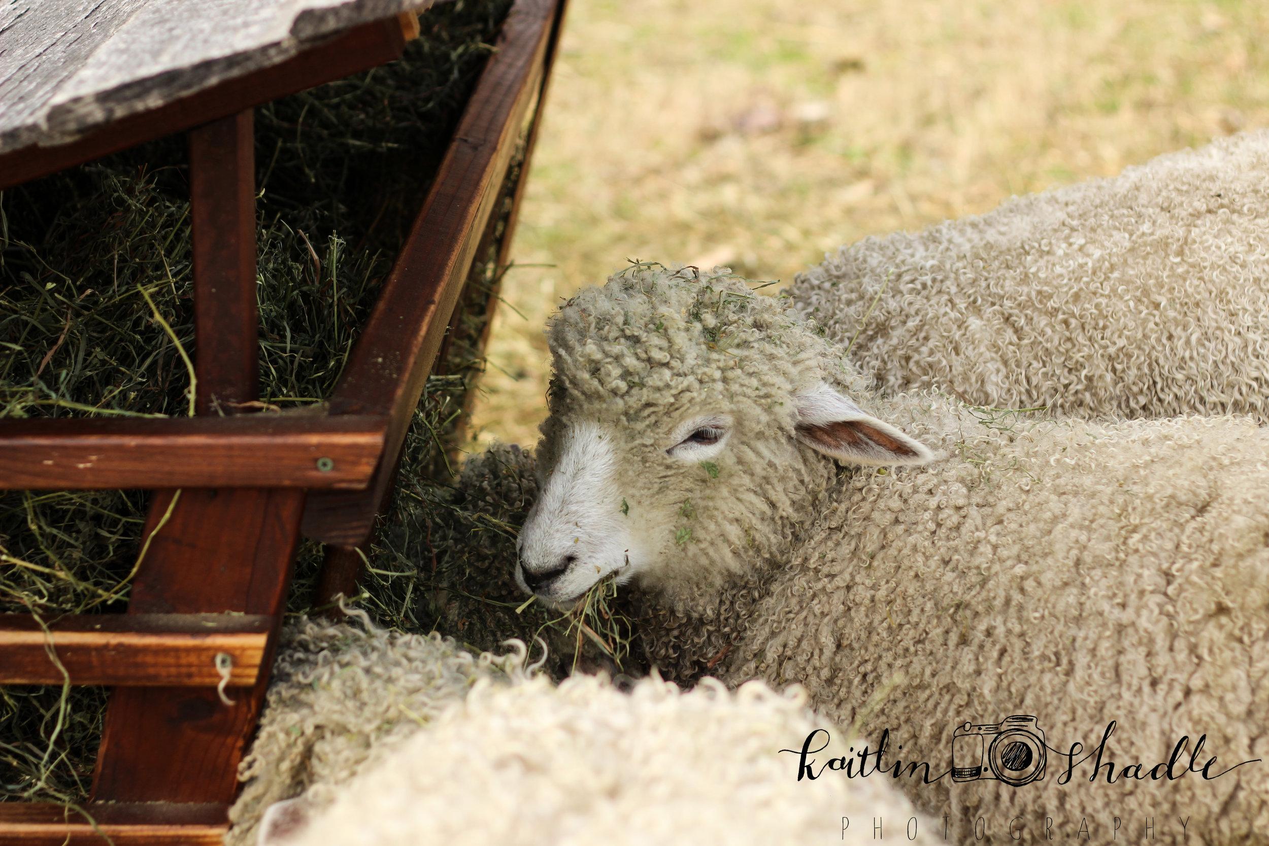 Lamb's Lunch